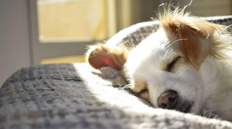 Nova Scotia Retriever – charakterystyka psa