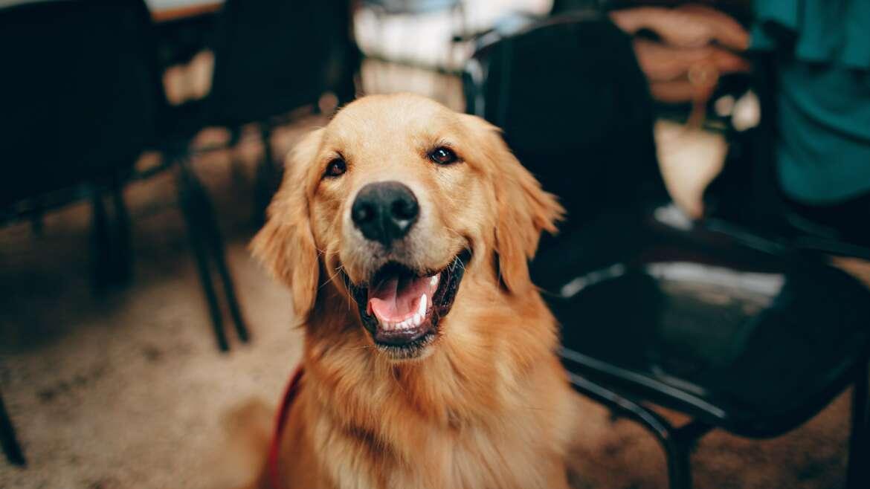 Cechy charakterystyczne i opieka psa Komondora