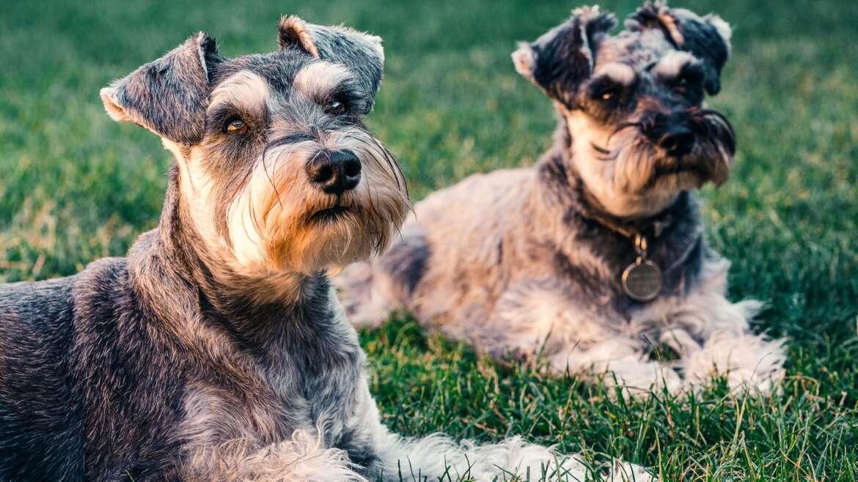 Jeden czy dwa psy? Co się zmienia?